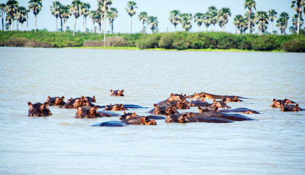 Picture of a group of hippos in a river in Selous Game Reserve, Tanzania, Africa.